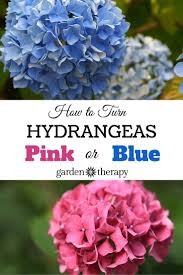 Hydrangea by The Essential Guide To Growing Hydrangeas