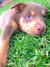 resume template customer service australian kelpie breeders north for my iggy kelpie cross collie oh how shes grown she looked