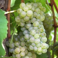 grape vine fruit trees plants edible garden the home depot