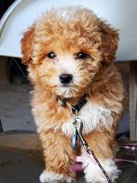 haircutsfordogs poodlemix maltipoo yep i think it s gonna be the one for dasher it s