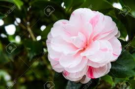 camellia flowers pink with white camellia flowers beautiful pink with white