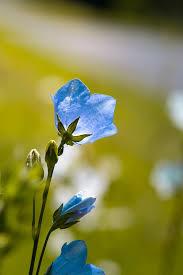 blue flower flower bellflower blue free photo on pixabay