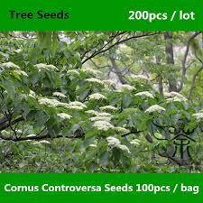 wedding cake tree aliexpress buy ornamental beautiful cornus controversa seeds