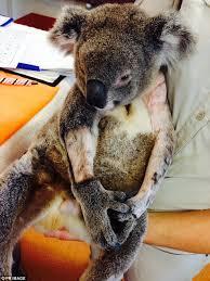 koalas cured chlamydia australian scientists carry