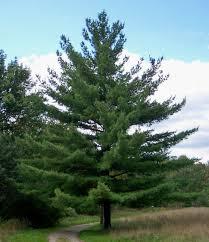 white pine tree eastern white pine pine family evergreen tree in hamilton