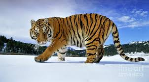 siberian tiger photograph by andy rouse and photo researchers