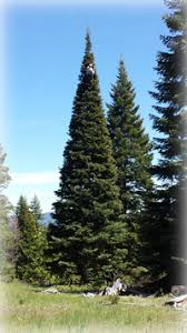 real christmas trees for sale large real christmas tree to 100 oregon