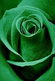 green roses best 25 green ideas on beautiful roses