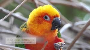 jandaya parakeet backyard birding in santa ana ca hd video