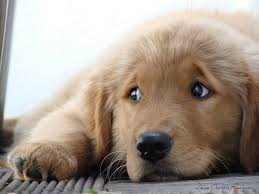 Puppy Eyes Meme - i can has cheezburger puppy funny animals online cheezburger