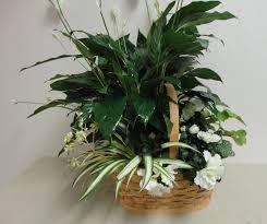 peace plant peace plant in wapakoneta oh haehn florist greenhouses