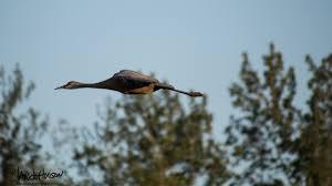 the sandhill cranes of fairbanks alaska