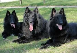 belgian shepherd uk about the belgian shepherd dog british bullmastiffs co uk