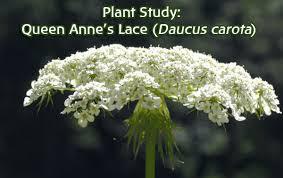plant study queen anne u0027s lace