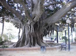 file alicante big tree 2 jpg wikimedia commons