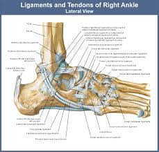Foot Ligament Anatomy Leg Archives Page 15 Of 26 Human Anatomy Charts