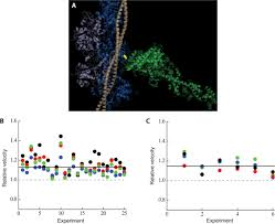 contractility parameters of human β cardiac myosin with the