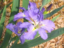 native louisiana plants get it growing time to divide louisiana irises bossier press