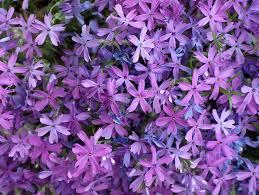 fiori viola fiori viola immagine stock immagine di fiore multitude 22401