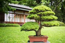 bonsai tree in a japanese garden with traditional design building