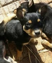 Bench Kelpie Puppies Sale Cuddley Kelpies Dogs U0026 Puppies Gumtree Australia Brisbane