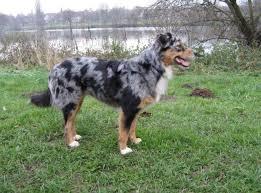 gewicht australian shepherd 7 monate ab wann hört ein aussi auf zu wachsen australian shepherd dog