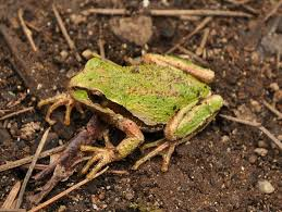 pacific tree frog wikipedia
