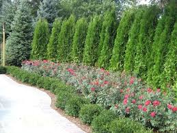 evergreen trees for garden exhort me