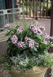 pentas lanceolata northern lights lavender annual benary