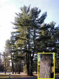 winter tree identification part ii evergreen trees new york