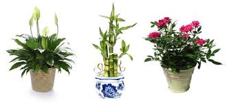 potted flowers potted plants are much greener than cut flowers green potted