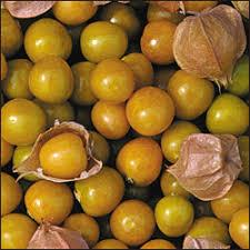 fruit edibles husky edibles tomatillos ground cherries we can grow it