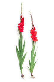 gladiolus flower all about gladiolus