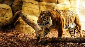 28 best hd tiger wallpapers feelgrph