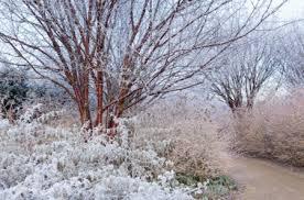 Anglesey Abbey Winter Garden - winter garden texture u0026 substance prunus serrula cornus