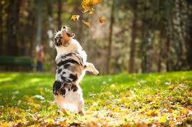 3 legged australian shepherd new albany dog park