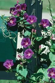 Mandevilla Plant Diseases - high octane vines wisconsin gardening