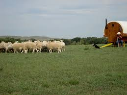d bar d australian shepherds sharon rowe twin creek herding and productions