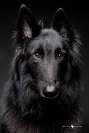 belgian shepherd uk best 25 belgian shepherd ideas only on pinterest belgian dog