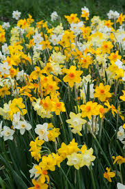 daffodil bulbs item 3710 evan scent for sale