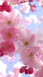44 best purple cherry blossom images on pinterest spring cherry