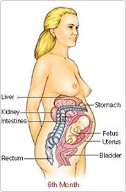 Pregnant Female Anatomy Diagram Reproduction Pregnancy Reproductive System Of Female