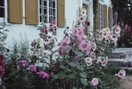 hollyhock flowers how to trim hollyhocks home guides sf gate