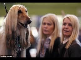 weimaraner vs afghan hound afghan hound video funnydog tv