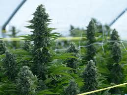 Plant Trellis How To Grow Cannabis Outdoors Sunset