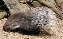 Image of Porcupine defense mechanism