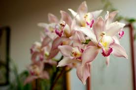 Cymbidium Orchid The Types Of Orchids And Identification Photos