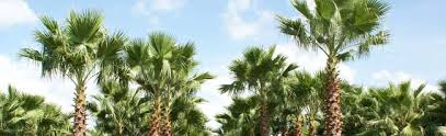 mexican fan palm growth rate washingtonia filifera palmco florida