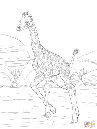 rothschild giraffe calf coloring page free printable coloring pages
