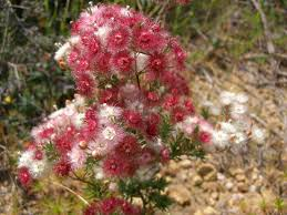 native plants western australia native pink and white wildflowers whistlepipe gully western